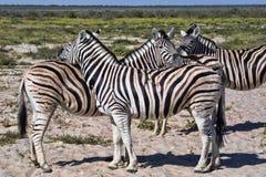 Με ραβδώσεις Damara, antiquorum burchelli Equus, καλλωπισμός, Etosha, Ναμίμπια Στοκ φωτογραφία με δικαίωμα ελεύθερης χρήσης