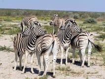Με ραβδώσεις Damara, antiquorum burchelli Equus, καλλωπισμός, Etosha, Ναμίμπια Στοκ Φωτογραφίες