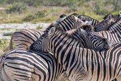 Με ραβδώσεις Damara, antiquorum burchelli Equus, καλλωπισμός, Etosha, Ναμίμπια Στοκ εικόνα με δικαίωμα ελεύθερης χρήσης