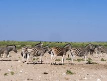 Με ραβδώσεις Damara, antiquorum burchelli Equus, στο λιβάδι, Etosha, Ναμίμπια Στοκ φωτογραφία με δικαίωμα ελεύθερης χρήσης