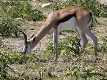 Με ραβδώσεις Damara, antiquorum burchelli Equus, στο λιβάδι, Etosha, Ναμίμπια Στοκ Φωτογραφία