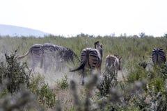 Με ραβδώσεις Damara, antiquorum burchelli Equus, στο λιβάδι, Etosha, Ναμίμπια Στοκ φωτογραφίες με δικαίωμα ελεύθερης χρήσης