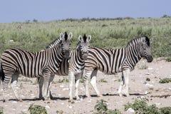 Με ραβδώσεις Damara, antiquorum burchelli Equus, στο λιβάδι, Etosha, Ναμίμπια Στοκ Φωτογραφίες