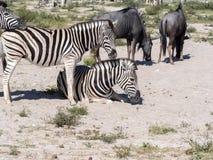Με ραβδώσεις Damara, antiquorum burchelli Equus, στο λιβάδι, Etosha, Ναμίμπια Στοκ Εικόνα
