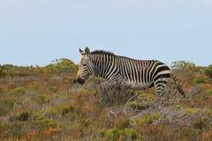 Με ραβδώσεις βουνών ακρωτηρίων (ζέβες με ραβδώσεις Equus) Στοκ εικόνα με δικαίωμα ελεύθερης χρήσης