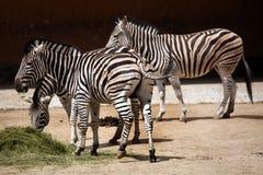Με ραβδώσεις γυρολόγου (chapmani quagga Equus) Στοκ φωτογραφία με δικαίωμα ελεύθερης χρήσης