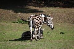 Με ραβδώσεις γυρολόγου (chapmani quagga Equus) Στοκ Φωτογραφία