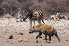 Με ραβδώσεις και hyena σε Etosha Parc Ναμίμπια Στοκ φωτογραφία με δικαίωμα ελεύθερης χρήσης