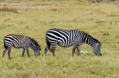 Με ραβδώσεις, κρατήρας Ngorongoro Στοκ Εικόνες
