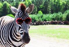 Με ραβδώσεις με τα γυαλιά ηλίου Στοκ Εικόνες