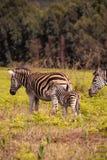 Με ραβδώσεις μωρών με τη μητέρα στο λιβάδι, Σουαζιλάνδη, άδυτο άγριας φύσης Mlilwane Στοκ Εικόνες