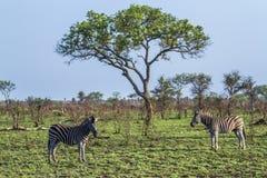 Με ραβδώσεις πεδιάδων στο εθνικό πάρκο Kruger, Νότια Αφρική Στοκ φωτογραφίες με δικαίωμα ελεύθερης χρήσης