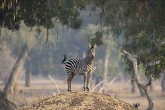 Με ραβδώσεις πεδιάδων (quagga equus) στο ανάχωμα τερμιτών στοκ φωτογραφία με δικαίωμα ελεύθερης χρήσης