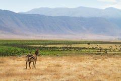 Με ραβδώσεις σε Ngorongoro Στοκ φωτογραφία με δικαίωμα ελεύθερης χρήσης