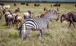 Με ραβδώσεις σε Serengeti, Τανζανία Στοκ Φωτογραφία