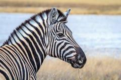 Με ραβδώσεις στη σαβάνα του εθνικού πάρκου Etosha, Ναμίμπια, Αφρική Στοκ εικόνες με δικαίωμα ελεύθερης χρήσης