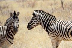 Με ραβδώσεις στον αφρικανικό θάμνο στοκ φωτογραφίες με δικαίωμα ελεύθερης χρήσης