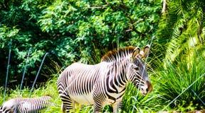 Με ραβδώσεις στο ζωολογικό κήπο που περπατά στη ζούγκλα Στοκ Εικόνα