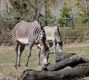 Με ραβδώσεις στο ζωολογικό κήπο Στοκ εικόνες με δικαίωμα ελεύθερης χρήσης