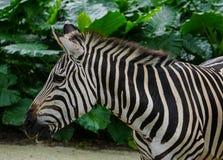 Με ραβδώσεις στο ζωολογικό κήπο Στοκ εικόνα με δικαίωμα ελεύθερης χρήσης