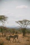 με ραβδώσεις της Αφρικής στοκ εικόνες