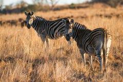 Με ραβδώσεις το πρωί ελαφριά Νότια Αφρική Στοκ φωτογραφίες με δικαίωμα ελεύθερης χρήσης