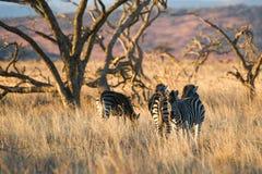 Με ραβδώσεις το πρωί ελαφριά Νότια Αφρική Στοκ Εικόνες