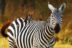 Με ραβδώσεις, Amboseli Στοκ Εικόνες