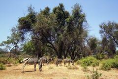 Με ραβδώσεις Burchell στο εθνικό πάρκο Kruger Στοκ εικόνες με δικαίωμα ελεύθερης χρήσης