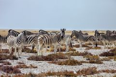 Με ραβδώσεις Damara κοπαδιών, antiquorum burchelli Equus, Etosha εθνικό Π Στοκ Φωτογραφίες