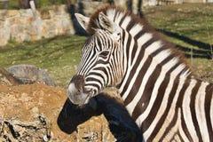 Με ραβδώσεις Damara, πορτρέτο antiquorum burchelli Equus Στοκ φωτογραφία με δικαίωμα ελεύθερης χρήσης