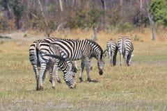 Με ραβδώσεις Damara, antiquorum burchelli Equus, εθνικό πάρκο Moremi, Μποτσουάνα Στοκ Εικόνες