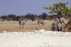 Με ραβδώσεις Damara, antiquorum burchelli Equus, στο θάμνο Ναμίμπια Στοκ Εικόνα