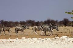 Με ραβδώσεις Damara, antiquorum burchelli Equus, στο θάμνο Ναμίμπια Στοκ Φωτογραφίες