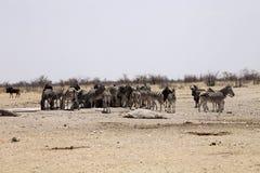 Με ραβδώσεις Damara, antiquorum burchelli Equus, στο θάμνο Ναμίμπια Στοκ φωτογραφία με δικαίωμα ελεύθερης χρήσης