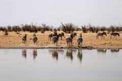 Με ραβδώσεις Damara, antiquorum burchelli Equus, στο waterhole, Ναμίμπια Στοκ Φωτογραφίες