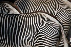 Με ραβδώσεις Grevy (grevyi Equus), επίσης γνωστό ως αυτοκρατορικό με ραβδώσεις Στοκ φωτογραφία με δικαίωμα ελεύθερης χρήσης