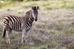 με ραβδώσεις quagga πεδιάδων equus Στοκ εικόνα με δικαίωμα ελεύθερης χρήσης