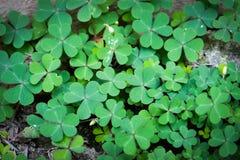 Πράσινο φύλλο τριφυλλιού που απομονώνεται στο άσπρο υπόβαθρο με τα three-leaved τριφύλλια Σύμβολο διακοπών ημέρας του ST Πάτρικ στοκ φωτογραφία