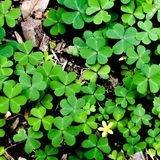 Πράσινο φύλλο τριφυλλιού που απομονώνεται στο άσπρο υπόβαθρο με τα three-leaved τριφύλλια Σύμβολο διακοπών ημέρας του ST Πάτρικ στοκ εικόνες