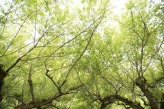 Με τον οπωρώνα δέντρων δαμάσκηνων στο doi angkhang, Στοκ εικόνες με δικαίωμα ελεύθερης χρήσης