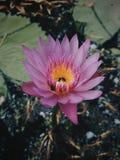 Ρόδινο Lotus στοκ φωτογραφίες