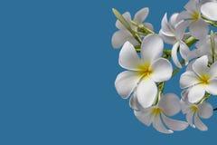 (Με το ψαλίδισμα της πορείας) απομονωμένο όμορφο γλυκό άσπρο plumeria Στοκ Φωτογραφίες