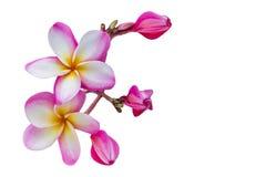 (Με το ψαλίδισμα της πορείας) απομονωμένο όμορφο γλυκό ρόδινο λουλούδι plumer Στοκ Φωτογραφίες