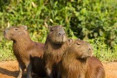 Μην ακούστε, μιλήστε, δείτε κανένα κακό: Τρίο Capybaras στοκ εικόνες