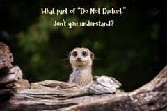 Μην ενοχλήστε meerkat meme στοκ φωτογραφίες με δικαίωμα ελεύθερης χρήσης