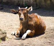 Μηρυκαστικό αρτιοδάκτυλο Bovid του Bull banteng στοκ εικόνες