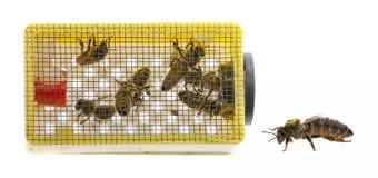 μητέρα βασίλισσας μελισσών στοκ εικόνες με δικαίωμα ελεύθερης χρήσης