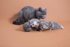 Μητέρα γατών που προσέχει τα μωρά της Στοκ Εικόνα