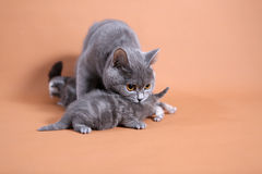 Μητέρα γατών που προσέχει τα μωρά της Στοκ Εικόνες